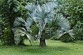 Bismarckia nobilis3498.jpg