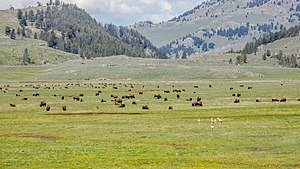 Lamar River - A herd of bisons and pronghorns in Lamar Valley