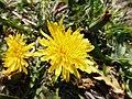 Blüten von Taraxacum plumbeum, Karlsruhe, April 2020.jpg