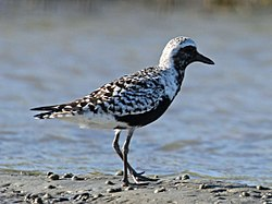 Black-bellied Plover RWD 2015b.jpg