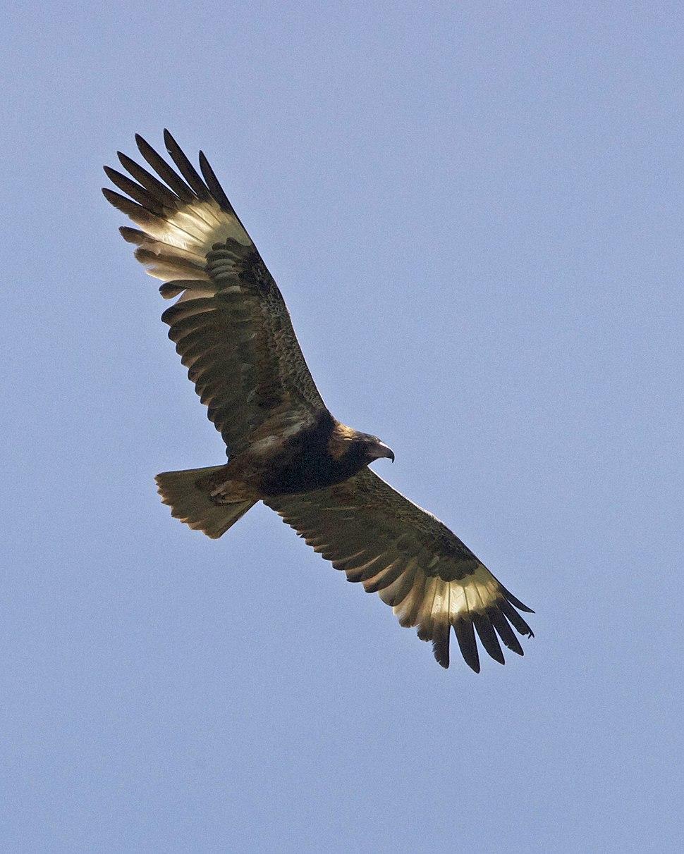 Black-breasted Buzzard (Hamirostra melanosternon) - Flickr - Lip Kee (2)