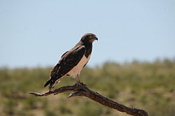 Black-breasted Snake Eagle 3.jpg