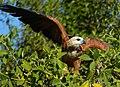 Black-collared Hawk (Busarellus nigricollis) before take-off ... (28413102781).jpg