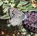 Black-eyed Blue. Glaucopsyche melanops. - Flickr - gailhampshire (8).jpg