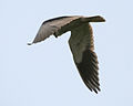 Black-shouldered Kite (Elanus caerculeus)- Hovering near Hodal I Picture 2197.jpg