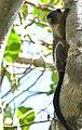 Black-tailed Marmoset (Mico melanurus) - 48197127191.jpg