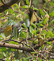 Black-winged Cuckooshrike (Coracina melaschistos) on Banyan (Ficus benghalensis) at Jayanti, Duars W Picture 417.jpg
