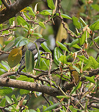 Black-winged Cuckooshrike (Coracina melaschistos) on Banyan (Ficus benghalensis) at Jayanti, Duars W Picture 417.jpg