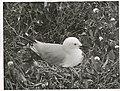Black Billed Gull at nest. (Larus bulleri) Maori name Tarapunga (7).jpg