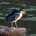Black Crowned Night Heron (6029044800).jpg