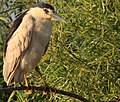 Black Crowned Night Heron - panoramio.jpg