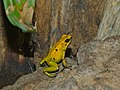 Black Leg Poison Dart Frog (Phyllobates bicolor) (7124609619).jpg