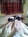 Black and white cat sleeping.jpg