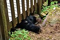 Black bear at Anan Wildlife Observatory.jpg