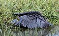 Black heron, Egretta ardesiaca, at Marievale Nature Reserve, Gauteng, South Africa (30366079581).jpg