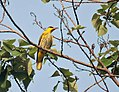 Black naped Oriole I2 IMG 2239.jpg