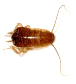 Small oriental cockroach (Blatta Orientalis)