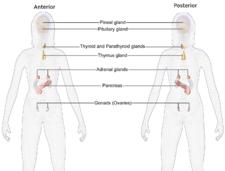 portalhealth  wikipedia blausen  endocrinesystem femalepng