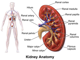 Renal papilla - Kidney, with renal papilla labeled at upper right.