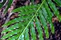 Blechnum gibbum in Wellington Botanical Garden 02.jpg