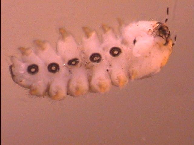Blepharicera Ventral Side