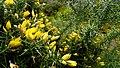 Blooming broom (Feiteiras de Baixo) (38096852661).jpg