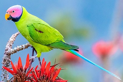 Blossom-headed Parakeet, Satchari NP, Bangladesh (crop).jpg