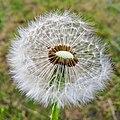 Blowball again - Flickr - Stiller Beobachter.jpg