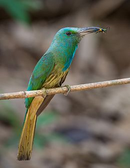 Blue-bearded bee-eater in Thailand.jpg