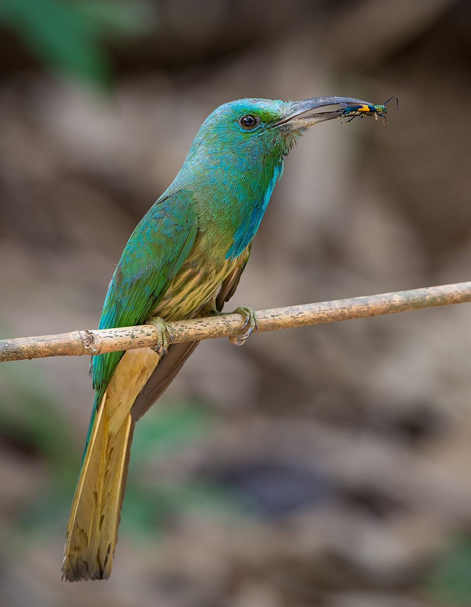 Blue-bearded bee-eater in Thailand