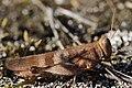 Blue-winged Grasshopper - Oedipoda caerulescens (21052046275).jpg