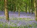 Bluebells - geograph.org.uk - 169078.jpg