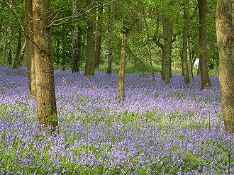 Westcott, Surrey - Image: Bluebells geograph.org.uk 169078