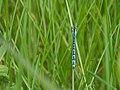 Bluet (Enallagma sp.) - Guelph, Ontario 2014-06-09.jpg