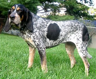 American Kennel Club - Image: Bluetick Coonhound