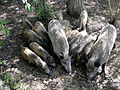 Boars Family, Golestan National Park, Iran.jpg