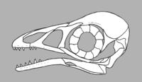 Bohaiornis skull reconstruction.png