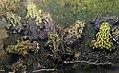 Bombina orientalis 7zz.jpg