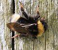 Bombus bohemicus (Bohemian cuckoo-bee) - female - Flickr - S. Rae.jpg