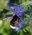 Bombus soroeensis queen - Echium vulgare - Keila.jpg