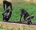 Bonobo - group with various ages.jpg