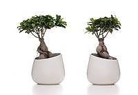 Bonsai Adam and Eve (PPL2-Enhanced) julesvernex2.jpg