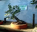 Bonsai tree ficus46.JPG