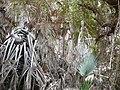 Borassus aethiopum 0059.jpg