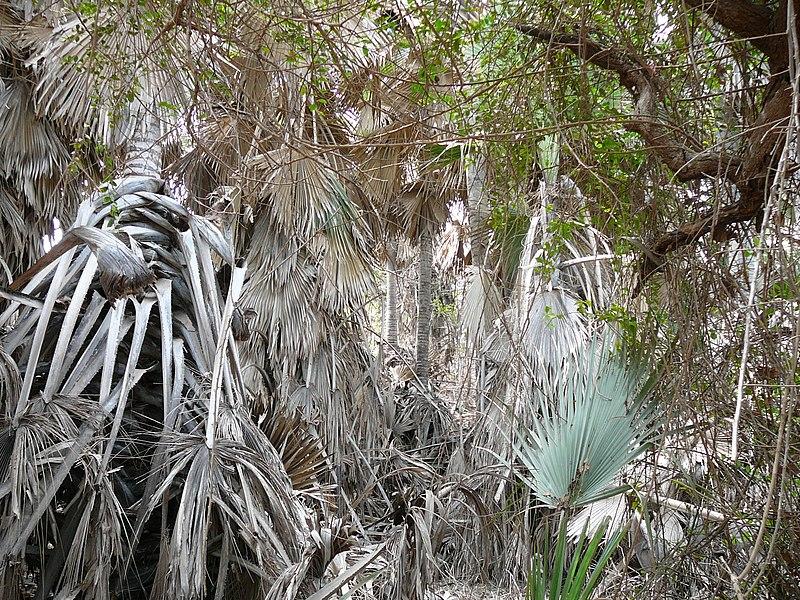 File:Borassus aethiopum 0059.jpg