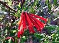 Bouvardia Ternifolia Trompetilla.jpg