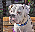 Boxerdog.jpg