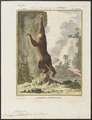 Bradypus didactylus - 1700-1880 - Print - Iconographia Zoologica - Special Collections University of Amsterdam - UBA01 IZ21000143.tif