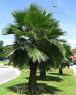 <i>Brahea edulis</i> Species of palm