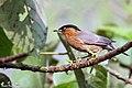 Brahminy Starling (Sturnia Pagodarum) കരിന്തലച്ചിക്കാളി. (26034935708).jpg